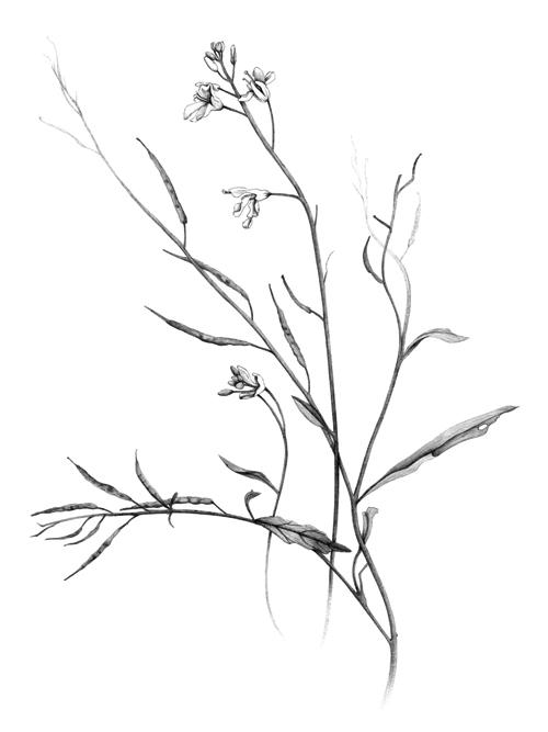 Mustard Plant Drawing Black Mustard Drawing